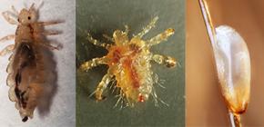 A quoi ressemblent les poux: familiariser avec les caractéristiques de l'apparence et de la biologie des parasites