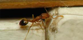 Pièges pour les fourmis domestiques dans l'appartement