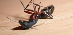 Choisir un remède pour les fourmis à la maison dans l'appartement