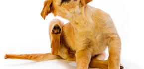 Comment et quoi peut apporter des puces chez le chien
