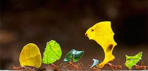 À propos de la vie des fourmis coupeuses de feuilles