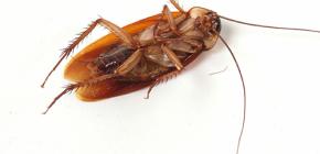 Se débarrasser des invasions de cafards à la maison
