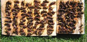 Comment gérer efficacement les frelons et les amener au chalet ou au rucher