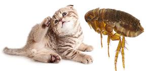Les puces de chat: leur apparence et leur dangerosité pour l'homme