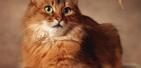 Comment se débarrasser des puces d'un chat: nous traitons vous-même votre animal