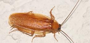 Quels sont les pièges pour les blattes et quelle est leur efficacité?