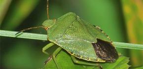À quoi ressemble un insecte vert et vaut-il la peine d'avoir peur?