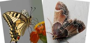 Pourquoi la teigne n'a-t-elle pas de trompe - n'est-ce pas un papillon?