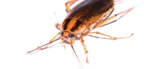 Remède efficace contre les blattes Global (Globol)