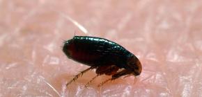 D'où proviennent les puces dans les maisons et les appartements: les principales raisons de l'apparition de parasites