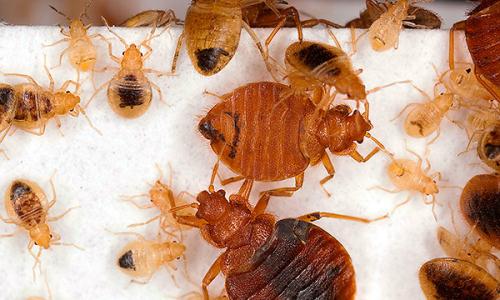 Méthodes qui aident à détruire complètement les insectes dans l'appartement ...