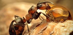 Photos de différentes espèces de fourmis et caractéristiques intéressantes de leur vie