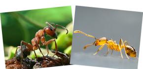 À propos des fourmis rouges et des fourmis domestiques, ainsi que de leurs différences