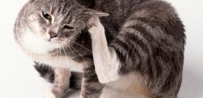 Moyens pour éliminer les puces chez les chats à la maison