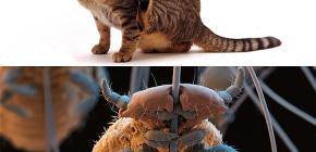 Les chats ont-ils des poux et comment éliminer les petits parasites des poils d'animaux?