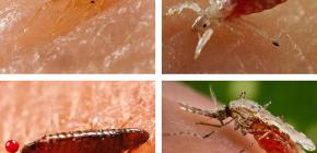 Quel genre d'insectes suceurs de sang peut être trouvé dans un lit ou un canapé