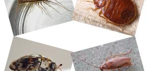 Quel type d'insectes domestiques se trouve dans l'habitat humain: parasites et parasites