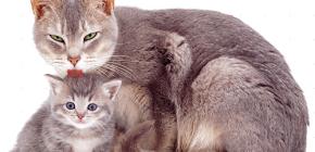 Gouttelettes de puces pour chats et chatons
