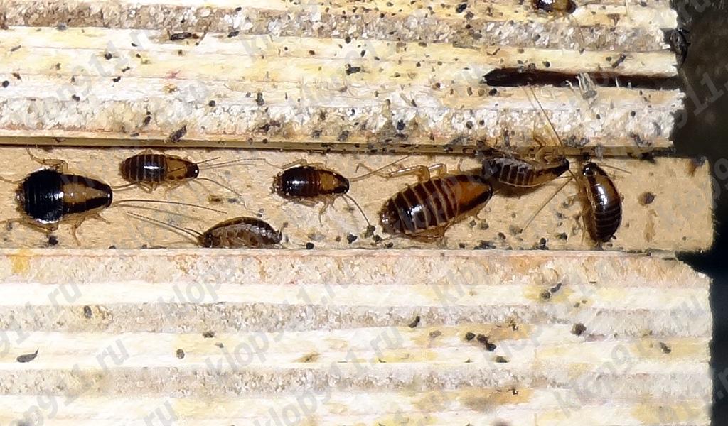 L'accumulation de nymphes de blatte rouge dans les meubles