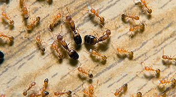 les punaises de lit les cafards les puces les fourmis. Black Bedroom Furniture Sets. Home Design Ideas