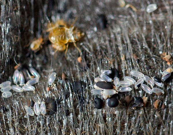 Les œufs de punaises de lit en général sont un peu plus résistants aux effets des températures basses et élevées que les individus adultes de parasites et leurs larves.