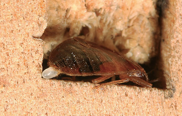 Pour éliminer définitivement les punaises de lit dans l'appartement, il est important de ne pas laisser les jeunes larves se développer et pondre de nouveaux œufs.