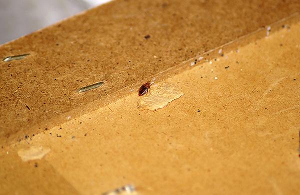 Souvent, ces sangsues sont introduites dans la maison par les propriétaires eux-mêmes, avec les vieux meubles ...