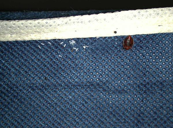 Les parasites peuvent être amenés à la maison avec des vêtements de la pièce contaminée.
