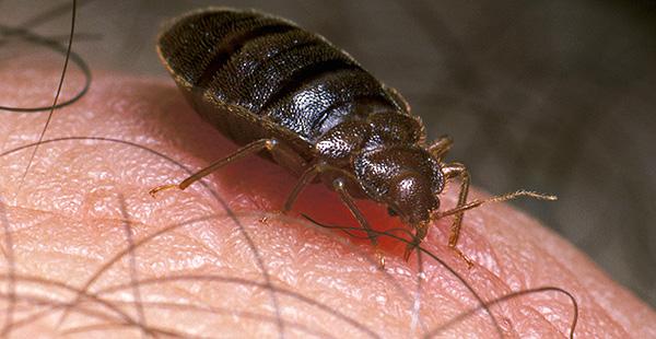 Cela ressemble à un insecte au moment de la succion du sang.