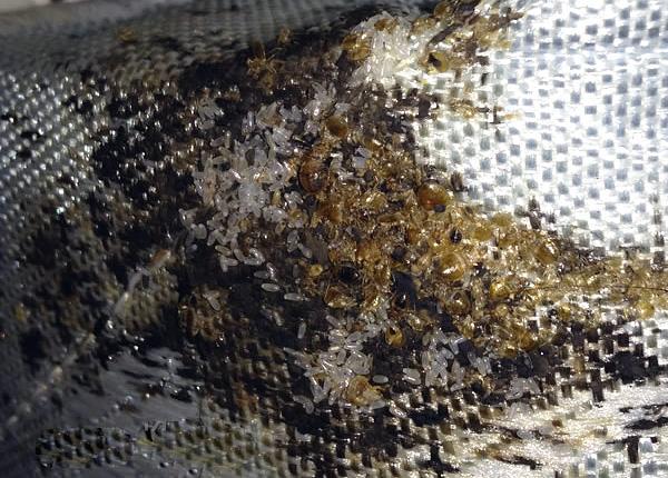 Dans le nid, vous pouvez trouver des dizaines et même des centaines d'individus parasites, ainsi que de nombreux œufs.