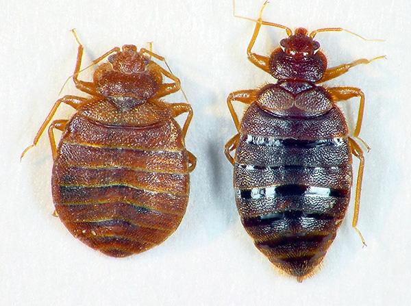 À gauche - un insecte affamé, à droite - ivre de sang