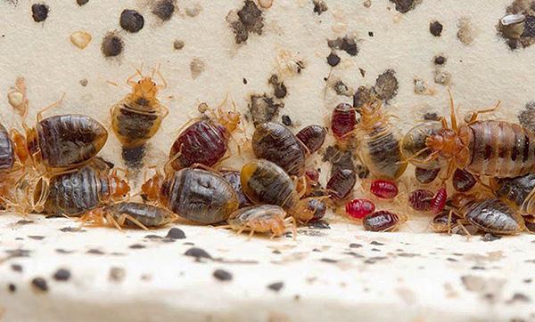 Dans le nid de parasites peuvent être trouvés comme bien nourris, et pendant longtemps ne pas se nourrir d'individus.