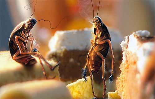 Les résidus d'aliments impurs contribuent à la reproduction des blattes