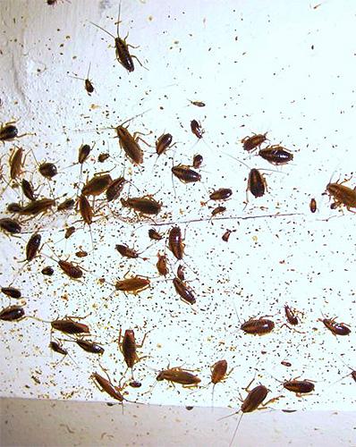 Blatte globale infectée par un gel peut empoisonner beaucoup de ses semblables