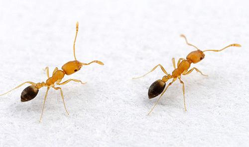 Si des fourmis sont parfois trouvés dans la maison, il est utile de prendre des mesures préventives.