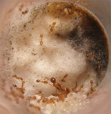 Le nid de fourmis domestiques peut être situé à la fois dans l'appartement et à l'extérieur