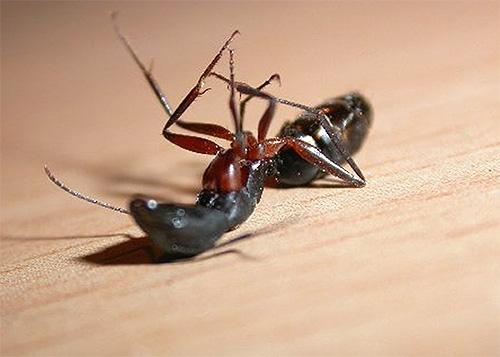 Découvrez quel outil sera le meilleur dans la lutte contre les fourmis domestiques