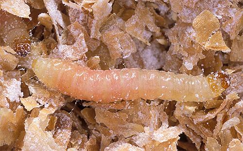 Avec plaisir, les larves de papillons de nuit se nourrissent de céréales, de farine et de fruits secs