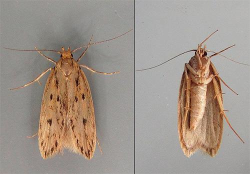 Lorsque vous choisissez un remède contre les papillons de nuit, il est nécessaire de prendre en compte la rapidité avec laquelle un organisme nuisible doit être éliminé, ainsi que le type de papillon nocturne (vêtements ou aliments).