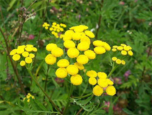 Parmi les plantes dont les odeurs ont peur des puces, la tanaisie et l'absinthe sont particulièrement efficaces.