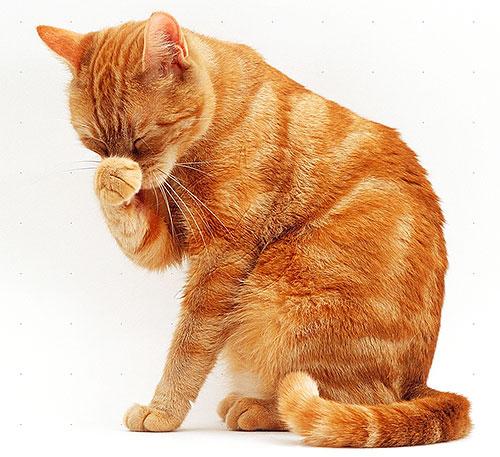 Les chats et les chats sont plus sensibles aux pyréthroïdes que les chiens, ils doivent donc être particulièrement vigilants avec les produits anti-puces.