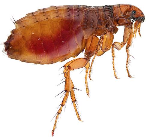 La plupart des insecticides modernes sont toxiques pour les puces et sont relativement sans danger pour l'homme.