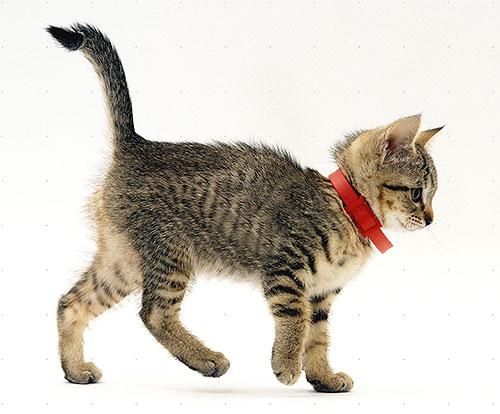 Un exemple de collier de pseudocarbone sur un chaton