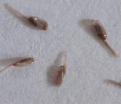 Pratiquement tous les remèdes contre les poux et les lentes doivent être combinés avec un peigne anti-parasite.
