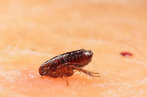 En moyenne, les puces ne vivent pas longtemps et les conditions environnementales ont un effet important sur leur durée de vie.