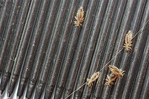 Peignes pour le peigne des poux - l'un des moyens les plus efficaces et les plus sûrs pour éliminer les parasites à la maison
