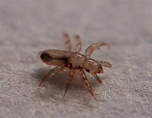Les larves de poux éclosent des lentes restantes dans les cheveux pendant environ une semaine.