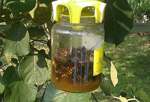 Ceci est un piège fait par soi-même pour les guêpes et les frelons suspendus à un arbre