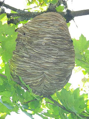 Pour protéger le rucher des frelons, il est utile de commencer à trouver un nid d'insectes