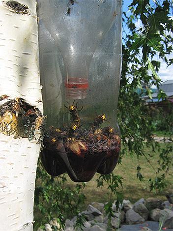 Les guêpes et les frelons pourraient entrer dans un tel piège à partir d'une bouteille en plastique, mais ne pas sortir.
